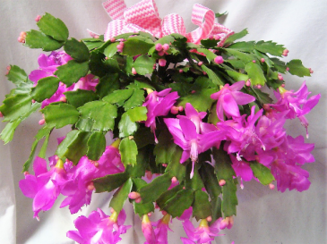 """BEAUTIFUL PINK CHRISTMAS CACTUS!! 6"""" POT WITH FOIL AND BOW!"""