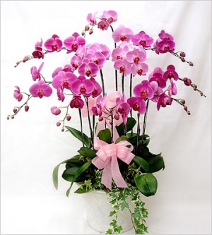 Beautiful Pink Orchid Plant in Sunrise, FL | FLORIST24HRS.COM