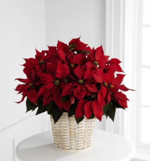 Red or White Poinsettia  Flowering Plant  in Oakville, ON | ANN'S FLOWER BOUTIQUE-Wedding & Event Florist