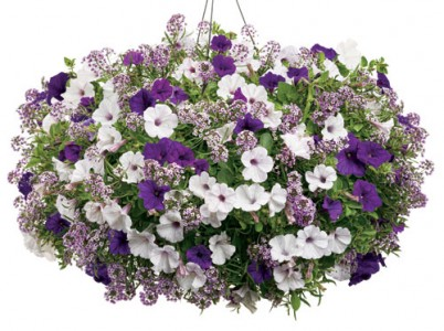 Beautiful Purple Hanging Basket