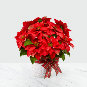 Beautiful Red Poinsettia