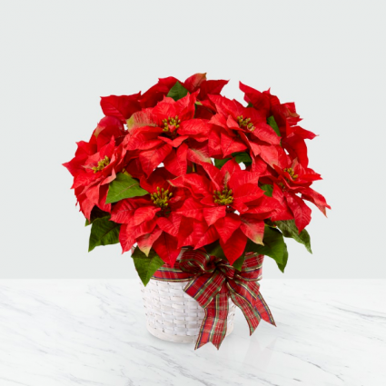 Beautiful Red Poinsettia