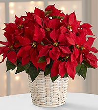 Beautiful Red Poinsettia in a basket