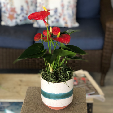 "Beautifully Bold Anthurium  4"" Potted Plant"