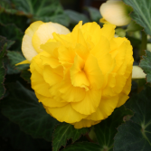 Begonia Annual