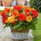 """Begonia Basket 6"""" Begonia Plant"""