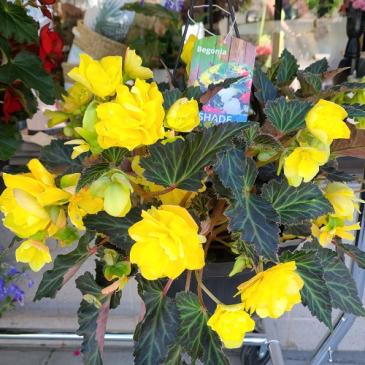 Begonia basket Outdoor plant