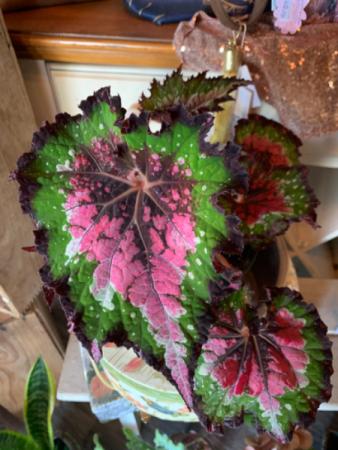 Begonia burst Flowering plant