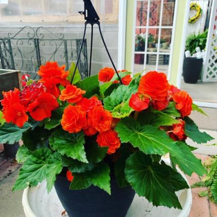 Begonia Hanging Basket Plant
