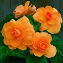 Begonia Plant Orange Color