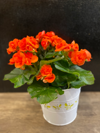 Begonia Plant Peach Color, 6''