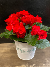Begonia Plant Red Color, 6''