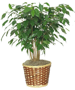 BENJAMIN FIG TREE  Ficus benjamina  in Ozone Park, NY | Heavenly Florist