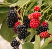 Berry Plants