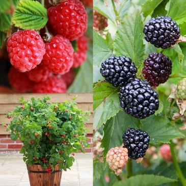 Berry Plants- Elderberry, Blackberry, Raspberry Greenhouse