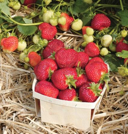 Berry Plants- Strawberry Greenhouse
