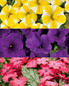 "Berrylicious Combination Available as 6.5"" Foolproof color pot, 12"" patio pot & 10"" hanger"