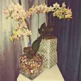 Bethel Orchid Phalaenopis