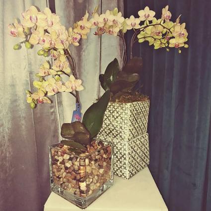 Orchid - Bethel  PHALAENOPSIS