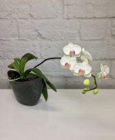 Bi Colored Phalaenopsis Orchid  in Contemporary Faux Slate Pot