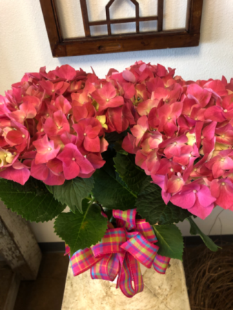 Big and beautiful  Hydrangea plant