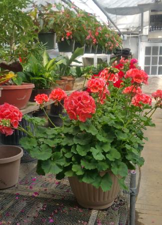 Big Geranium Patio Pots
