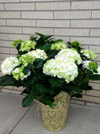 Big White Hydrangea blooming