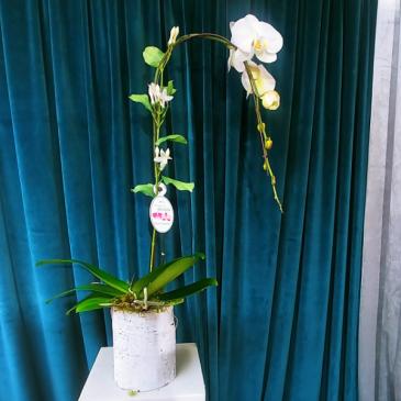 Birch & Waterfalls Orchid