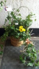bird paradise Ivy /bird basket