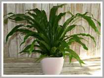 Birds Nest Fern Plant