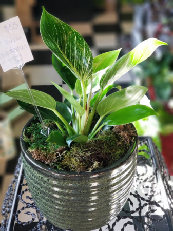 "6"" Birkin Philodendron in Ceramic Pot Plant"
