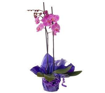 Birthday Orchid Plant