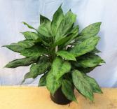 """BJ Freeman"" Aglaonema House Plant"