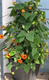 Black Eyed Susan Outdoor Vine Plant