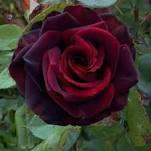 DOZEN BLACK MAGIC ROSES