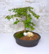 Black Olive Bonsai
