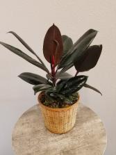 Black/Burgundy Rubber Plant Ficus Elastica