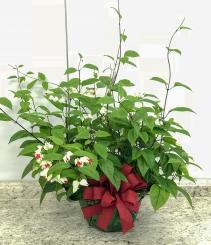 Bleeding Heart  Blooming Plant