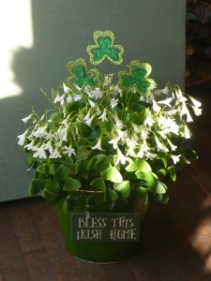 Bless this Irish Home Blooming Plant