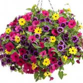 "Bliss- 12"" Hanging Basket Colorful mixed Petunias"