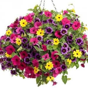 "Flower Bomb - 12"" Hanging Basket Colorful mixed Petunias in Emmetsburg, IA 