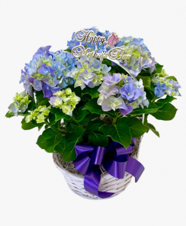 *SOLD OUT* Bloming Hydrangea Plant for Mom