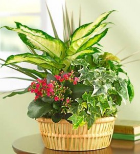 Bloomer Basket Dishgarden *prices/styles may vary in Lebanon, NH | LEBANON GARDEN OF EDEN FLORAL SHOP