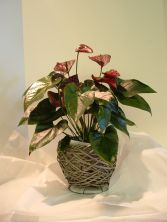 Blooming Anthurium Blooming Plant