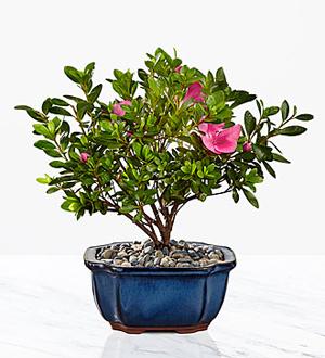Blooming Azalea Bonsai - 8-inch .WGP119-N