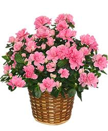BLOOMING AZALEA PLANT blooming plant