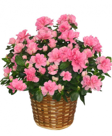 Blooming Azalea Potted Plant