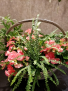 Bountiful Begonia Basket Mixed Begonia Basket