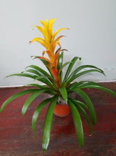 Blooming Bromeliad Plant Blooming Plant