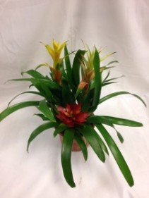 Blooming Bromeliad Potted Plant